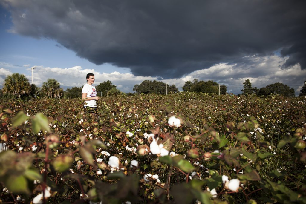 A student standing in a cotton field at the UF Teaching Farm